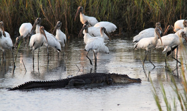 Alligator and Wood Storks