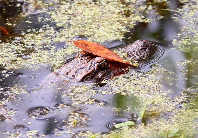 Baby Alligators in the Swamp