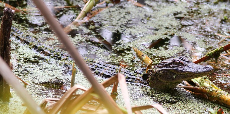 Baby Alligators in the Swamp