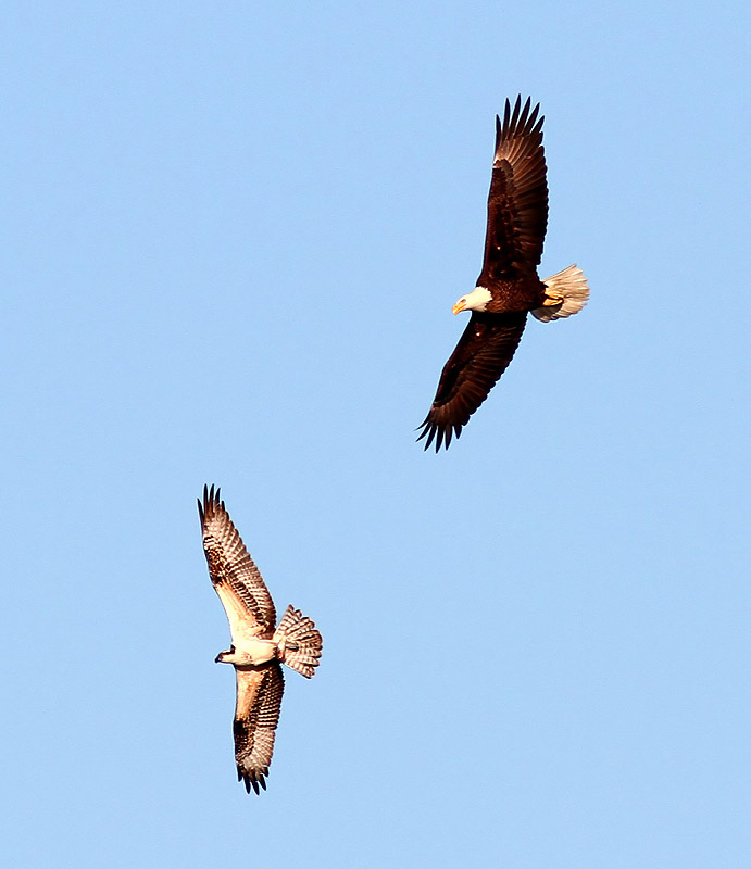 Bald Eagle Chases Osprey