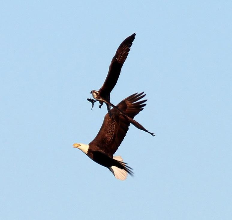 Bald Eagle Chases Osprey