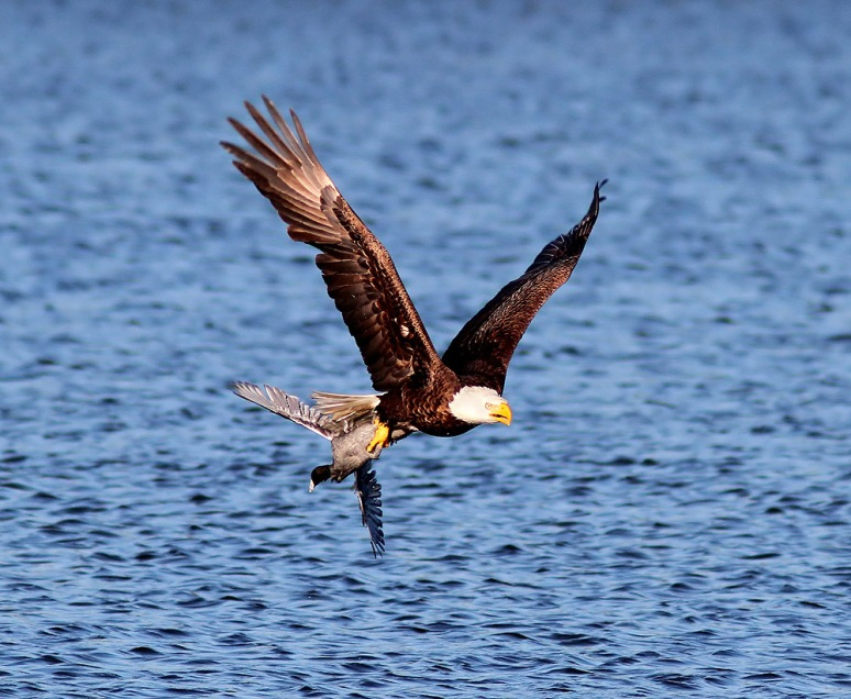 Bald Eagle Grabs Coot