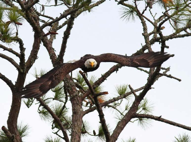 Bald Eagle Leaves Pine Tree