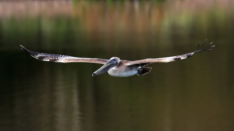 Brown Pelican Takeoff
