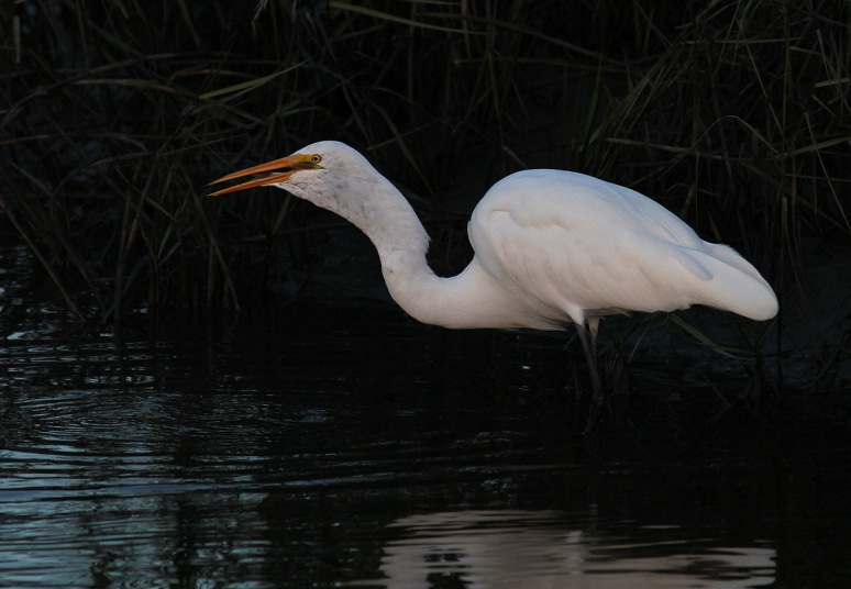 Egret Fishing Late Evening