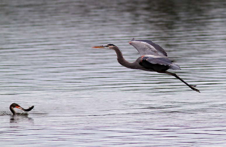 GBH Flight Over Cormorant