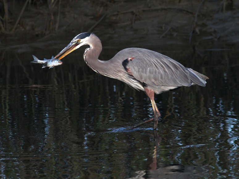Great Blue Heron Fishing in the Marsh