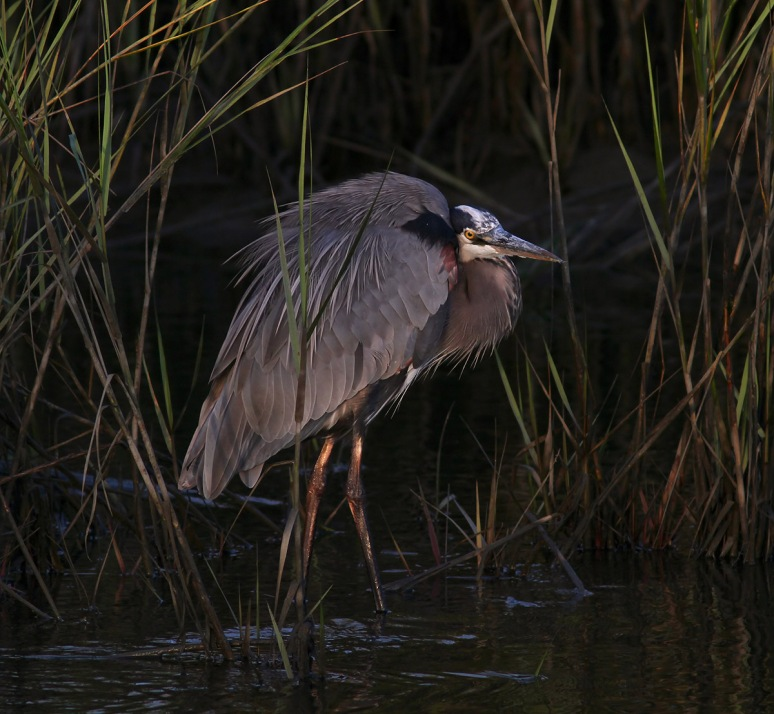 Great Blue Heron Fishing in the Marsh