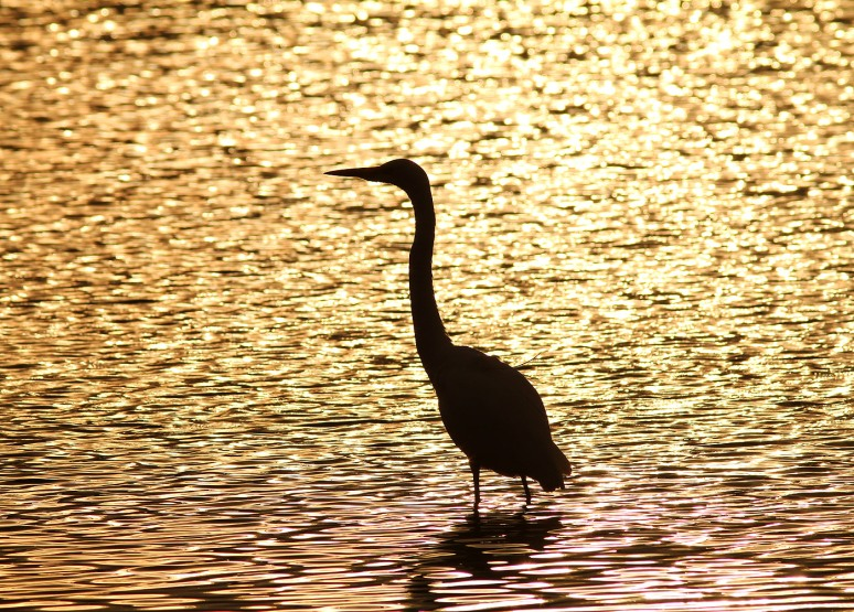 Great Egret Sunset Silhouette