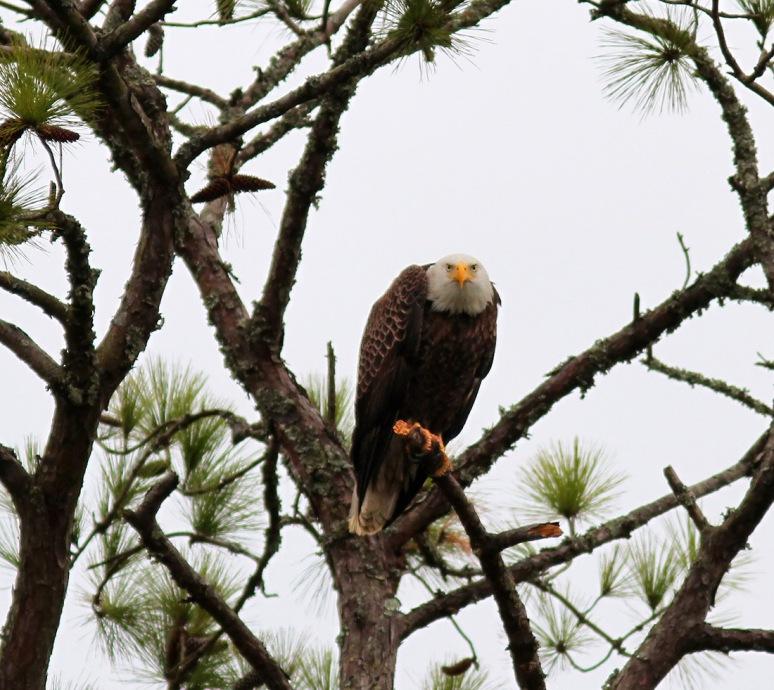 Grumpy Eagle