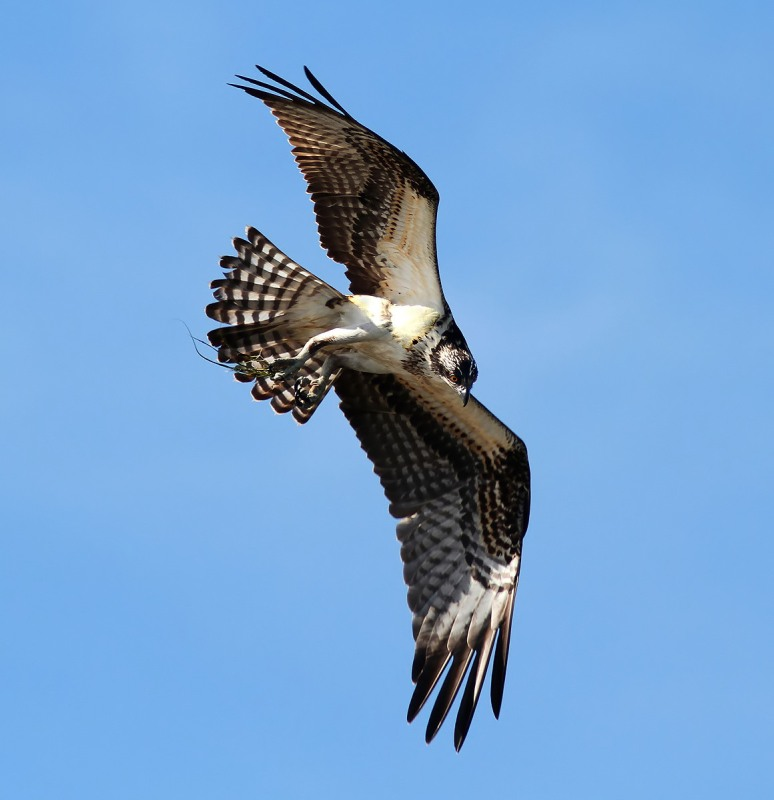 Osprey Circle and Dive