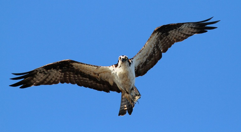 Osprey Fishing in the Morning