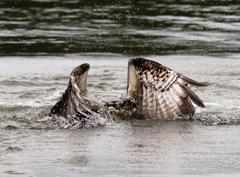 Osprey Gets Wet But No Fish 02