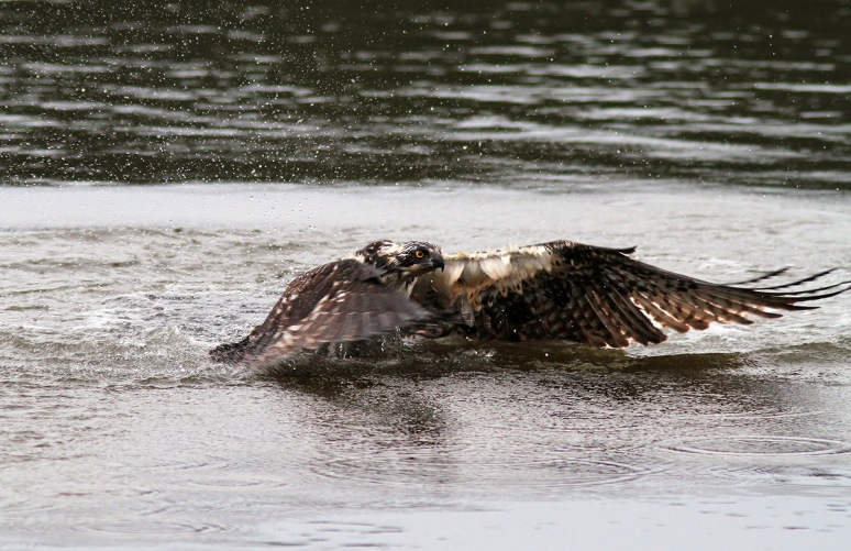 Osprey Gets Wet But No Fish