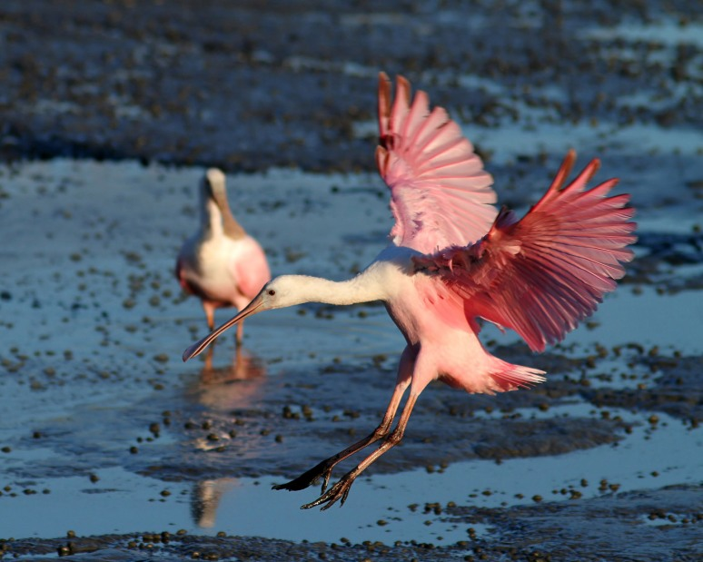 Spoonbill and Friend