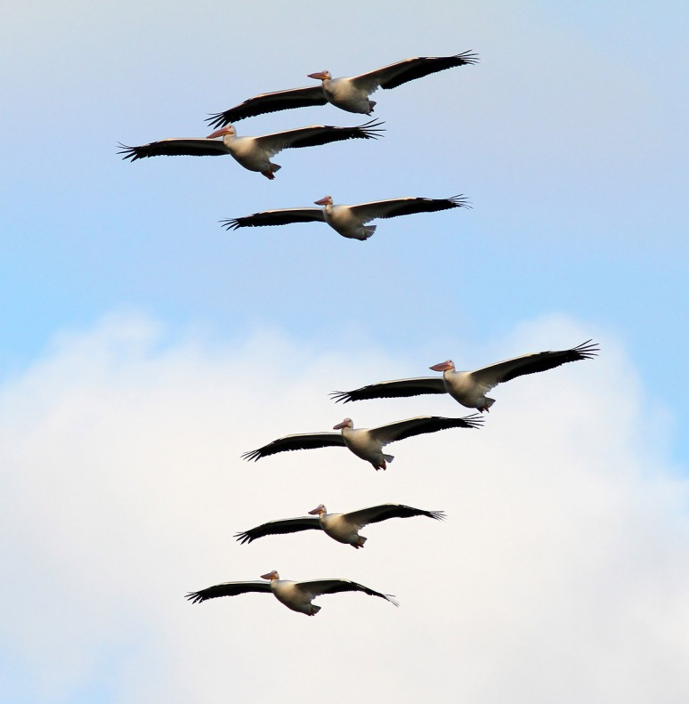 White Pelican Group Flights