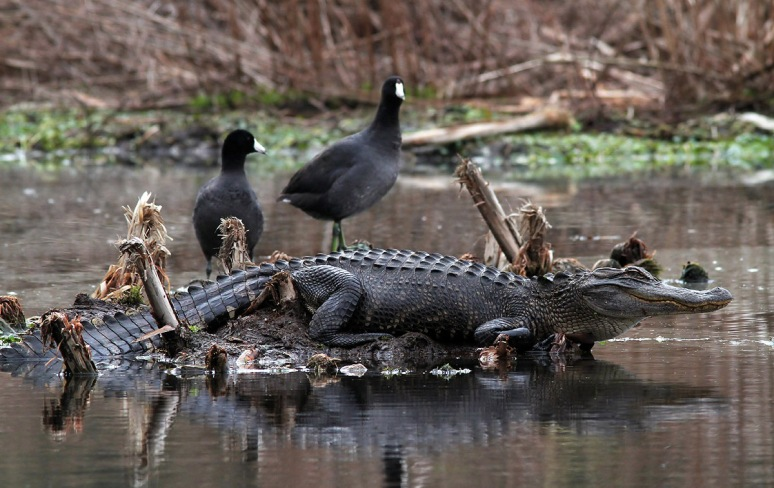 Alligator and Coots in Swamp