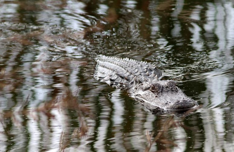 Alligator Glides Through Swamp