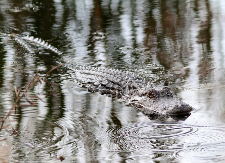 Alligator Glides Through Swamp