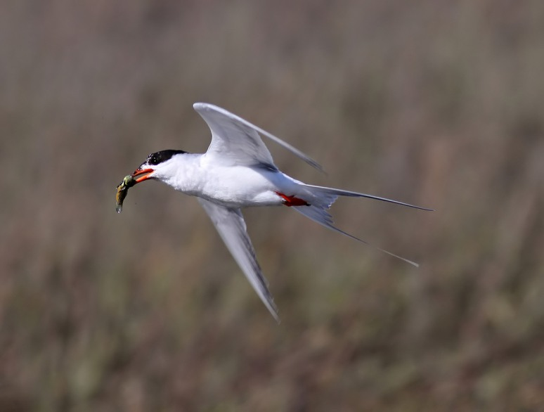 April - Forster's Tern With Fish