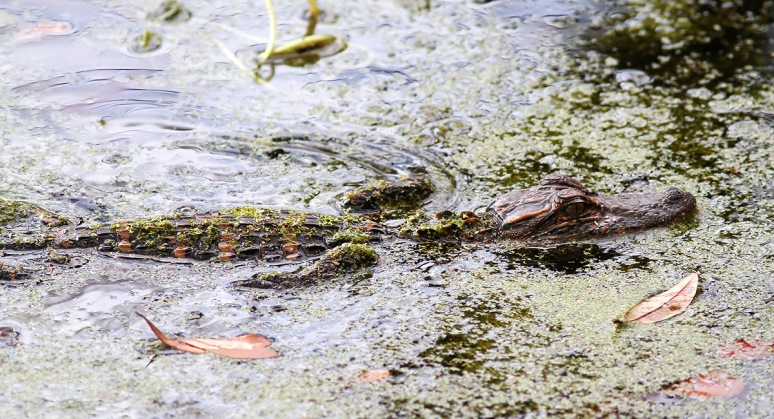 Baby Alligator in the Swamp