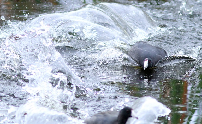 Coot Chase and Splash