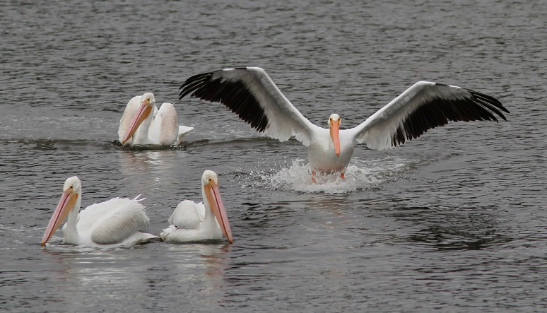 December - American White Pelicans in the Marsh Pond