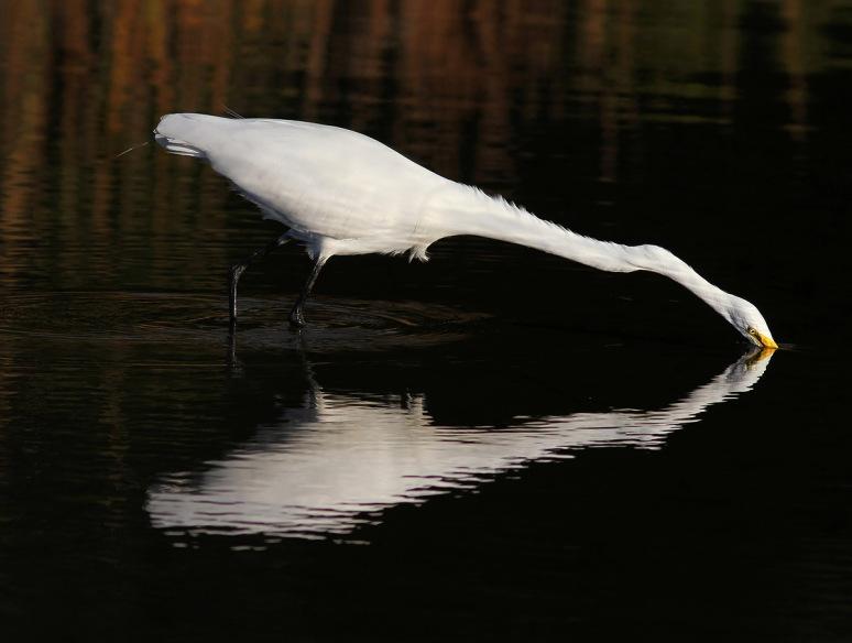 Egret Fishing in Salt Marsh with Reflection