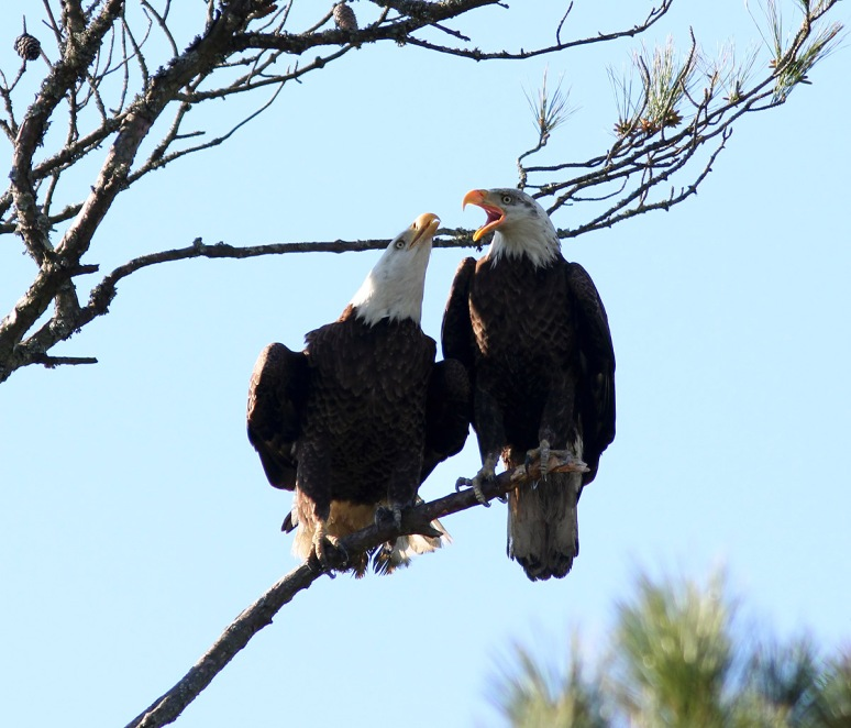 February - Bald Eagle Pair in Pine Tree