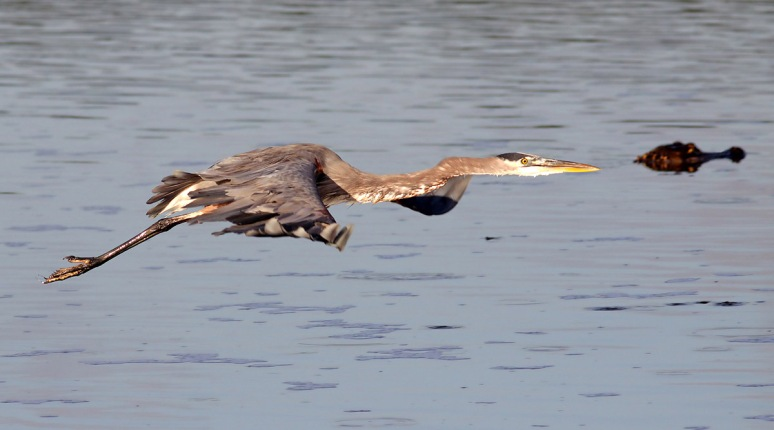 GBH Fly By with Alligator Head