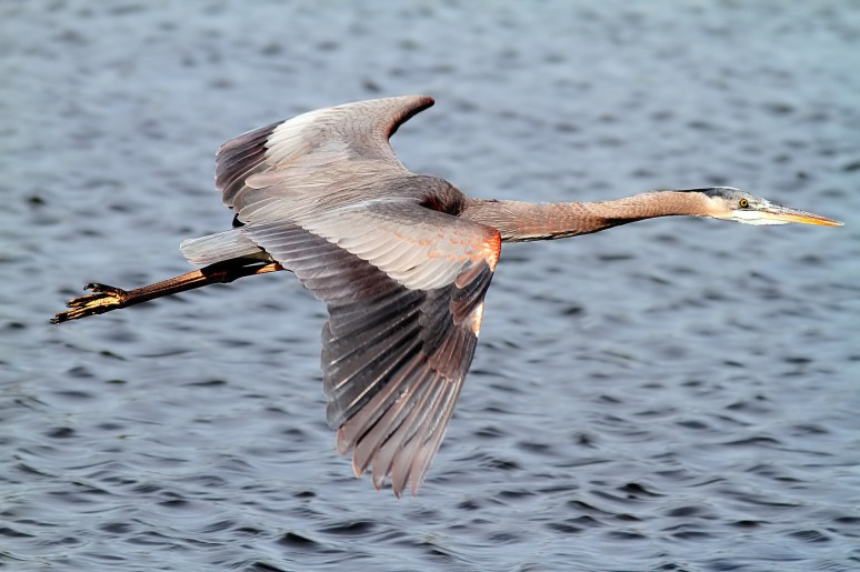 GBH Morning Flight above the Marsh Pond