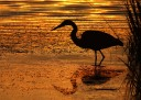 Great Blue Heron Marsh Pond Sunset Silhouette
