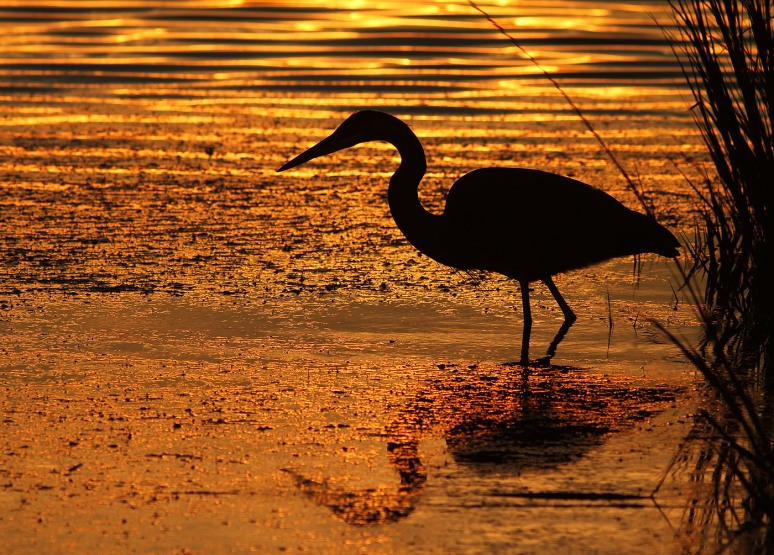 Great Blue Heron Marsh Pond Sunset Silhouette
