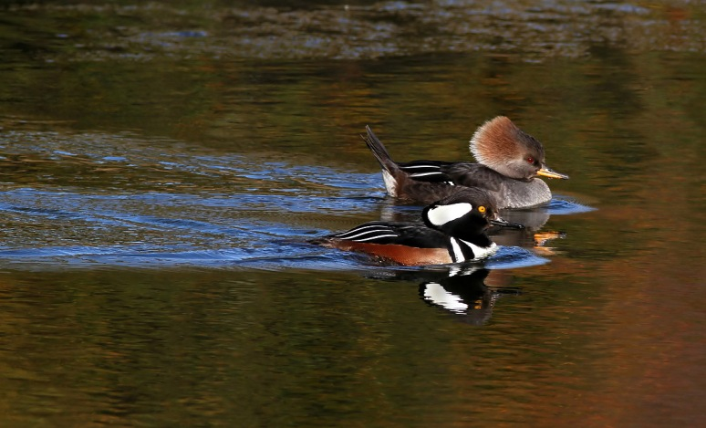 Hooded Mergansers in Pond
