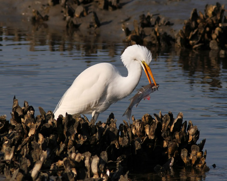 Hour in the Life of an Egret