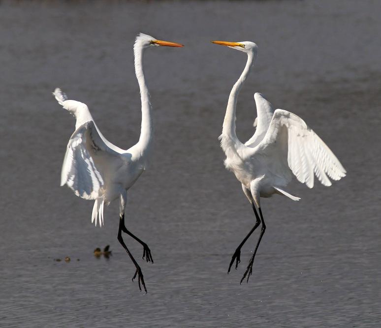 January - Egrets Battle in the Marsh