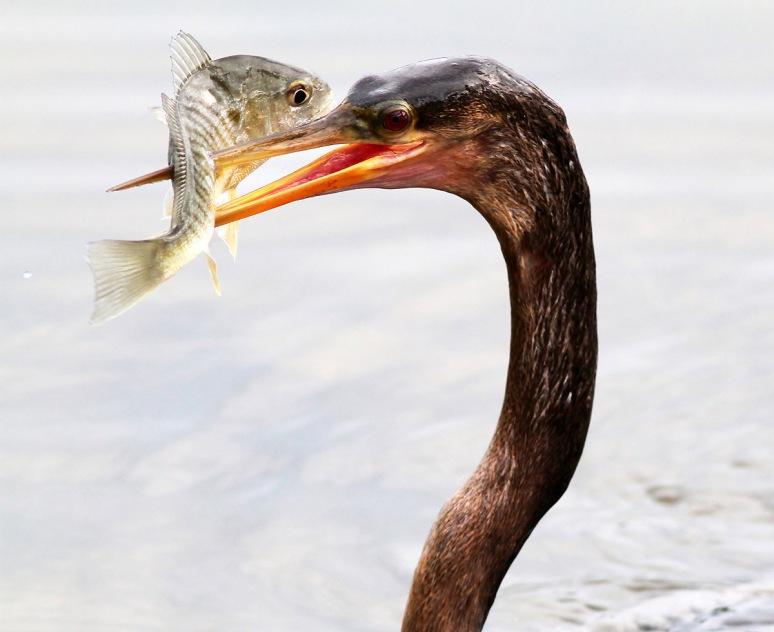 June - Anhinga Fishing in the Marsh Pond