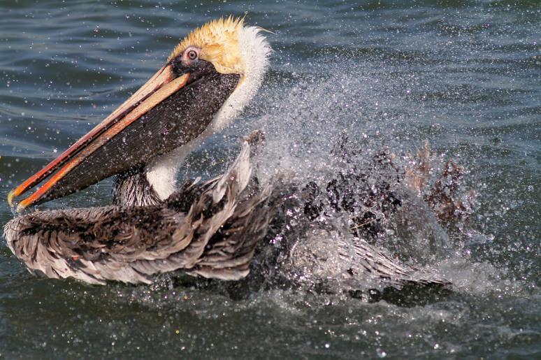 March - Brown Pelican Bathing in Salt Marsh