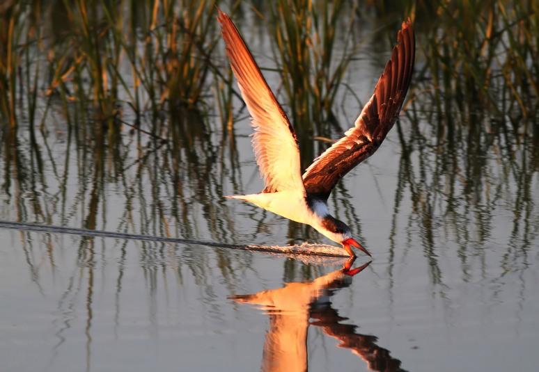 May - Black Skimmer Working the Marsh