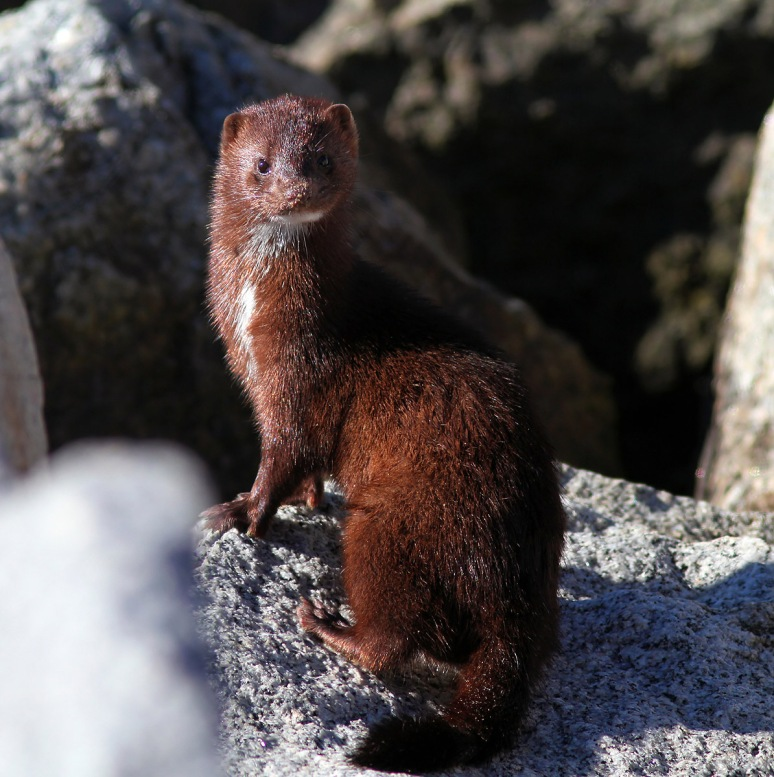 Mink at the Jetty