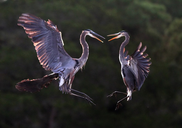 October - Great Blue Herons' Mid Air Battle