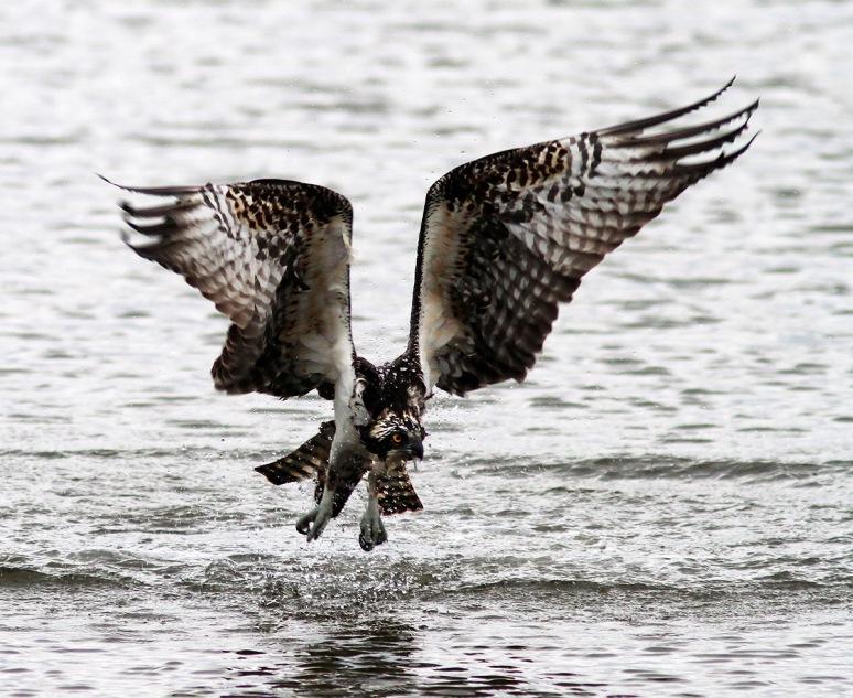 Osprey Doesnt Quit