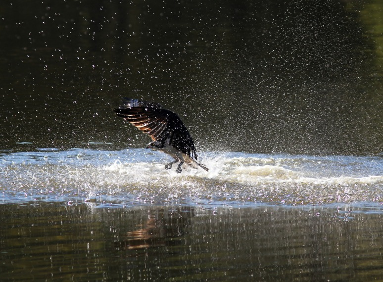 Osprey Splash