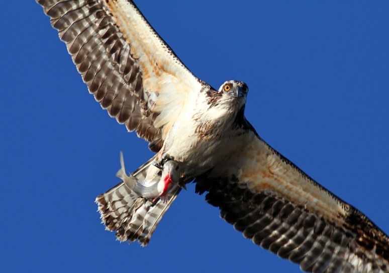 Osprey with Fish Too Close