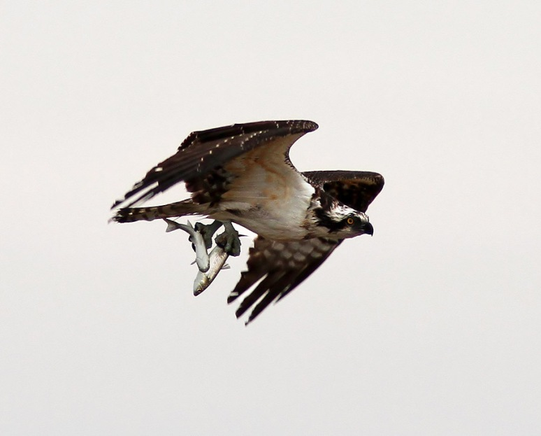 Osprey with two Fish