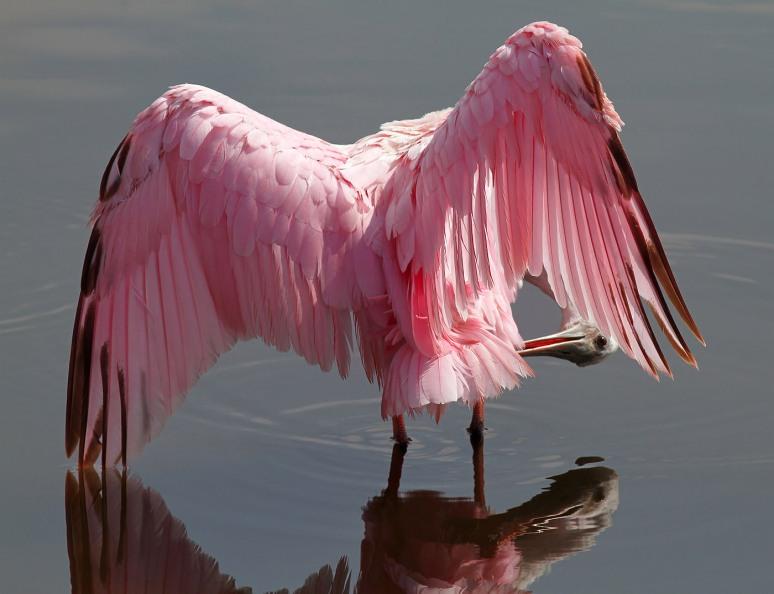 September - Spoonbill Preening in Marsh Pond