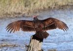 Turkey Vulture Not anAnhinga