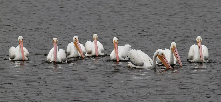 White Pelican Convention