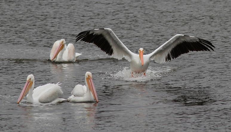 White Pelican Convention