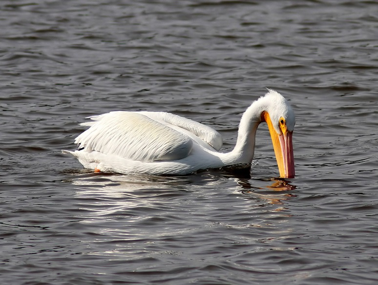 White Pelican Visits Marsh Pond